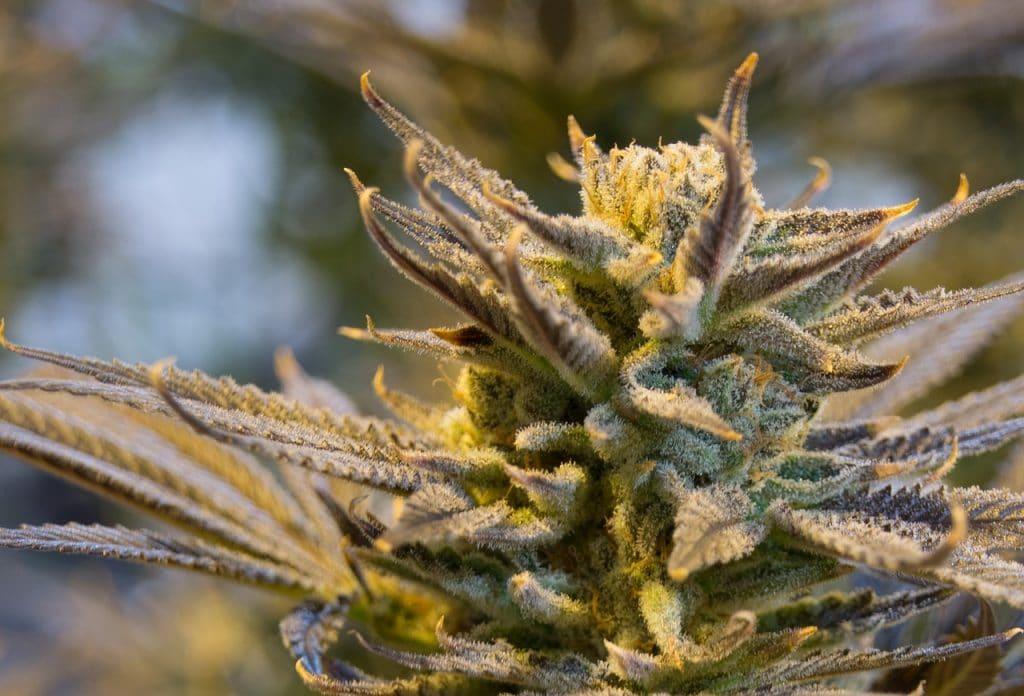 cannabis en floraison